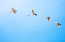 Лебеди (автор А. Макеев)