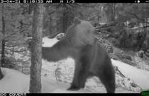 Медведь бурый. Заказник