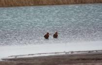 Пара веретенников на озеро Беле (автор В. Непомнящий)