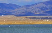 Лебеди над озером Улуг-Коль (фото А. Колбасов)