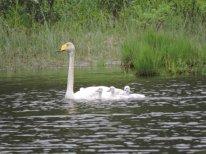 Лебедь-кликун с выводком птенцов на озере Позарым