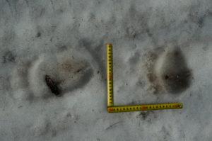 Первые следы медведя в этом году