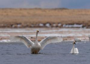 Малый лебедь на озере Улуг-Коль. Фото: Макеев А. А.