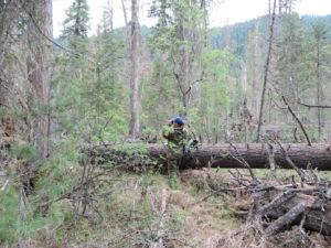 Ревизия состояния древостоев в месте локализации вспышки размножения короеда
