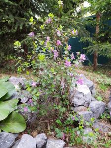 """Цветение рододендрона на эколого-экскурсионной тропе """"Живая летопись природы"""""""