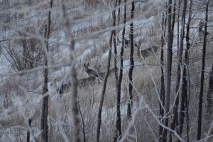 визуальный учет косули сибирской