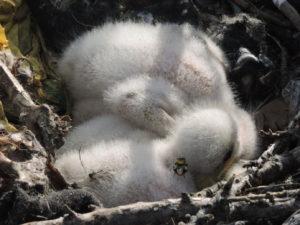 Птенцы степного орла