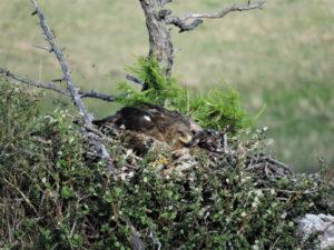 """Степной орел в заповеднике """"Хакасский"""""""