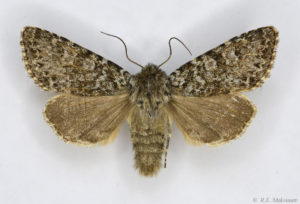 Lasionycta hampsoni