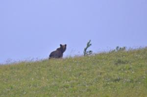 медведи на Подзаплотах-1