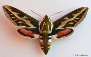 Hyles exilis chuvilini Danner