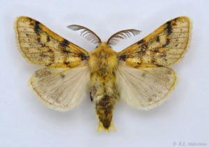 Gynaephora angelus