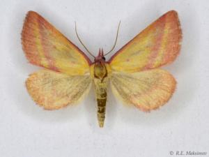 Phytometra amata inamoena