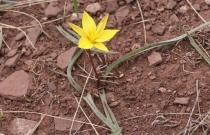 Тюльпан одноцветковый (автор С. Лебедева)