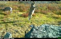 Сибирский горный козел. Заказник