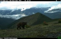 """Бурый медведь. Заказник федерального значения """"Позарым"""", фотоловушка."""