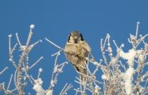 Ястребиная сова (автор В. Михайловский)