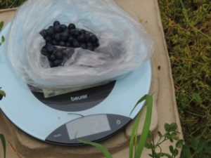 Measuring berries for productivity estimation