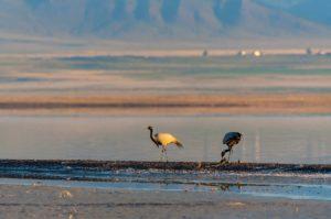 Пара журавлей-красавки с птенцами. Фото Макеев А.А.