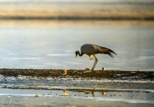 Птенец запутался в оперении родителя. Фото Налобин Б.С.