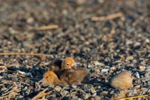 Птенцы журавля-красавки. Фото Макеев А.А.