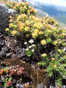 Rhodiola algida