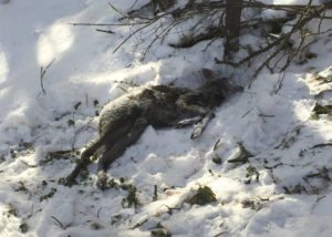 Убитая браконьерами кабарга