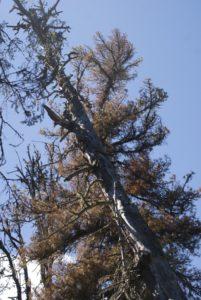 Усыхающее дерево поврежденное короедом (2017 г.)