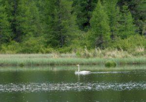 """Лебеди на озере """"Позарым"""""""